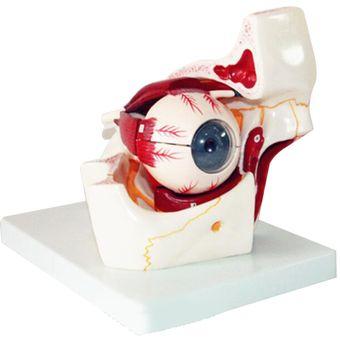 Ojo Humano Modelo De Nervio Vascular Orbital Párpado