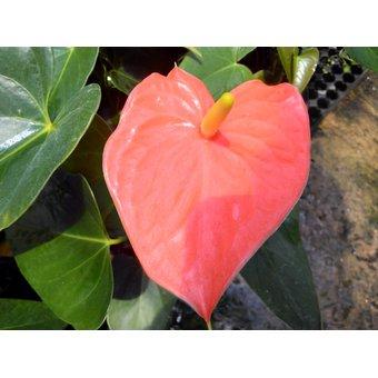 ab8dea528c60 Compra Anturio Príncipe Naranja online
